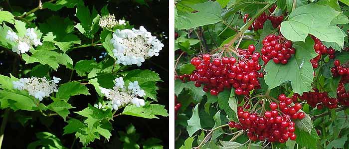 Hariliku lodjapuu õisik ja viljad (foto: wikipedia)
