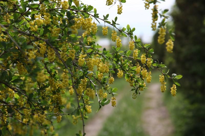 Õitsev kukerpuu (foto: Toomas Kukk)