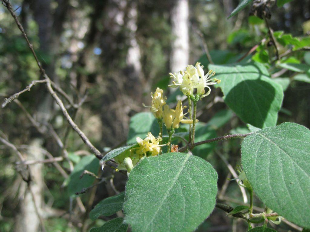 Harilik kuslapuu (Lonicera xylosteum) Foto: Toomas Kukk