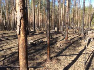 Seitseminen põletatud ala 2_Mari Kartau