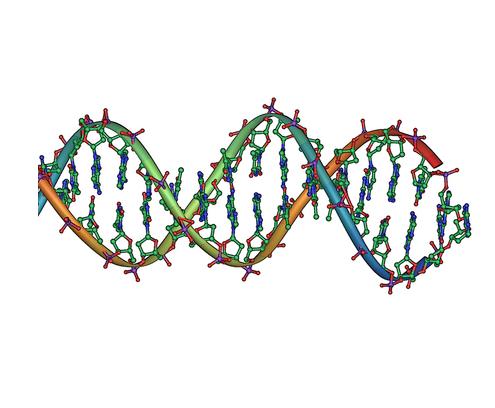 DNA kaksikheeliksi fragment